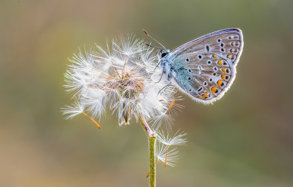 Picture dandelion, butterfly, Polyommatus