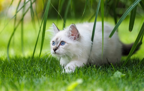 Picture cat, grass, leaves, kitty, blue eyes, Burmese