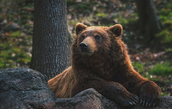 Picture face, stones, portrait, paws, bear, claws, the Bruins