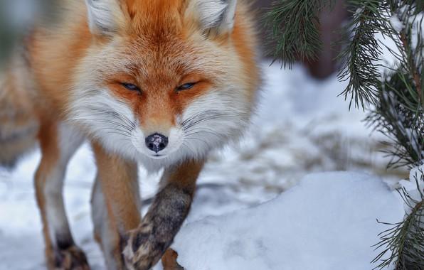 Picture winter, snow, branches, animal, Fox, needles, Fox, Oleg Bogdanov
