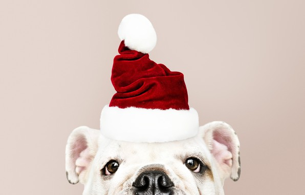 Picture dog, New Year, Christmas, puppy, Santa, Christmas, puppy, dog, New Year, cute, Merry, santa hat
