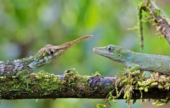 Picture lizard, female, male, Ecuador, anolis