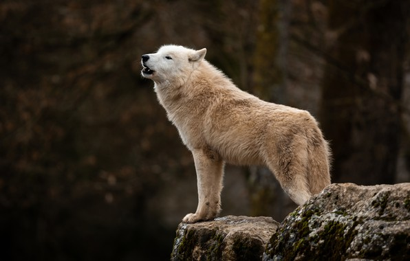 Picture forest, white, the dark background, stones, wolf, Arctic, polar, wolf howl