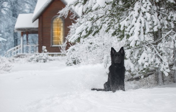 Picture winter, snow, nature, house, spruce, dog, German shepherd, Svetlana Pisareva