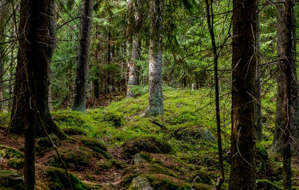 Picture forest, trees, moss