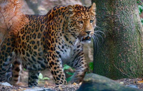 Picture forest, face, nature, background, tree, predator, leopard, trunk, wild cat, sneaks, wildlife
