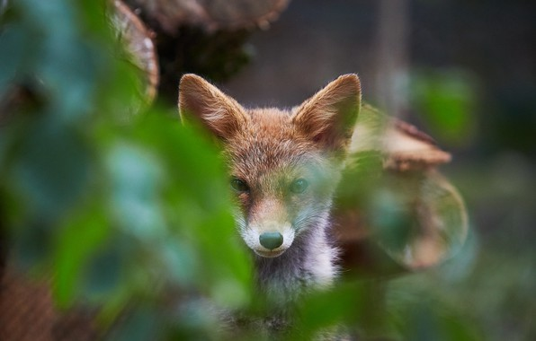 Picture foliage, in the woods, Fox, looking at the camera