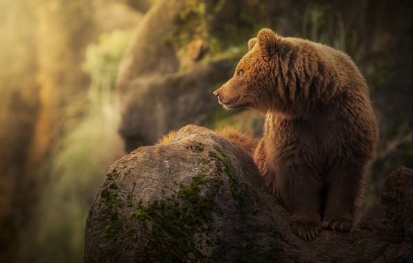 Picture stone, predator, bear