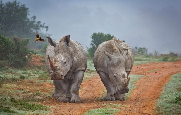 Picture Rhino, South Africa, buff Starling, Amakhala Game Reserve