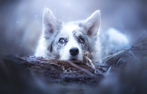 Picture face, snow, dog, ears, The border collie