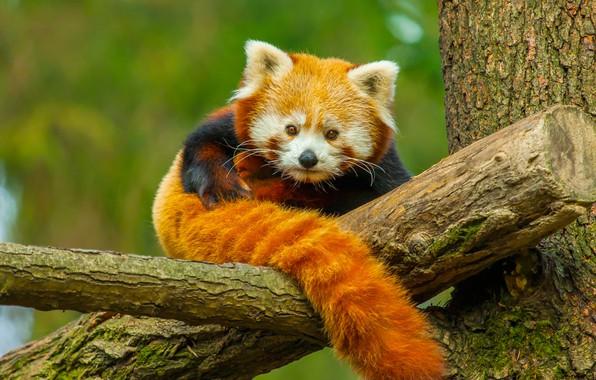 Picture nature, tree, animal, Panda, red Panda, red Panda