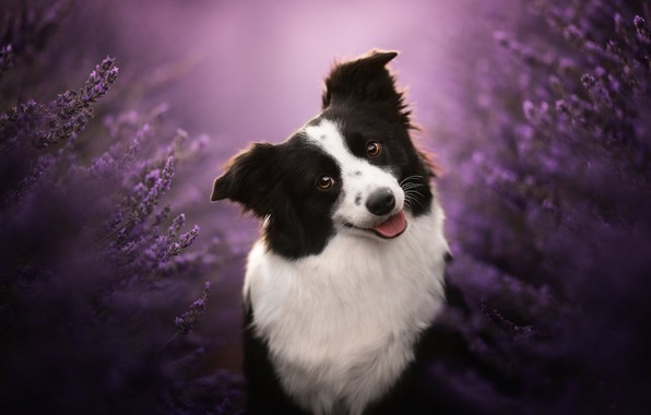 Picture face, smile, dog, lavender, bokeh, The border collie