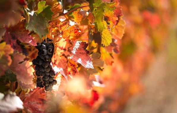 Picture autumn, light, foliage, berry, grapes, fruit, bokeh, vine