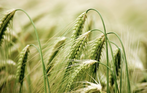Picture field, macro, photo, spikelets