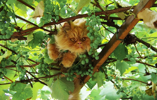 Picture greens, cat, summer, cat, look, face, leaves, branches, nature, pose, paws, shelter, fluffy, garden, red, …