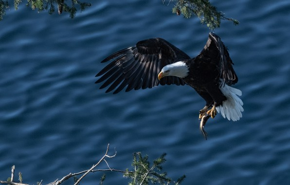 Picture water, branches, bird, wings, fish, mining, Bald eagle, catch