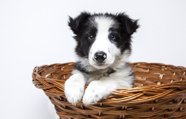 Picture look, dog, paws, muzzle, puppy, sitting, basket, collie, cute
