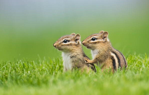 Picture grass, a couple, chipmunks, cubs