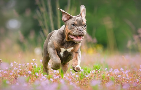 Picture language, summer, face, flowers, nature, pose, grey, background, jump, glade, dog, blur, baby, running, mouth, …