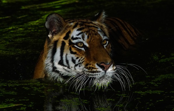 Picture mustache, look, face, water, night, tiger, darkness, the dark background, portrait, bathing, wild cat, pond, ...
