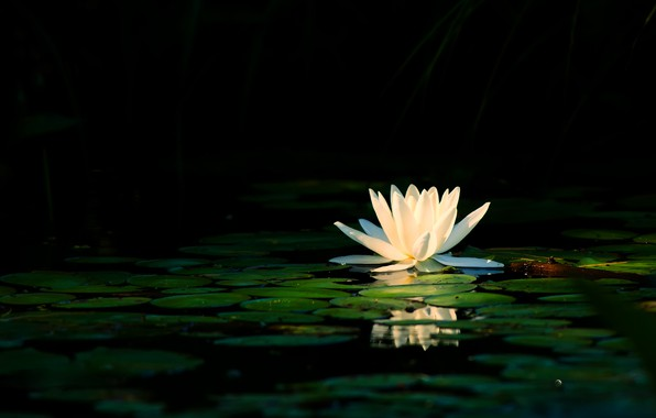 Picture white, flower, leaves, light, lake, pond, reflection, petals, white, black background, pond, Nymphaeum, water Lily