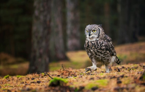 Picture forest, look, trees, the dark background, earth, owl, bird, trunks, claws, pine, walk, grey, predatory, …