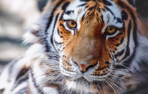 Picture look, face, tiger, portrait, wild cat