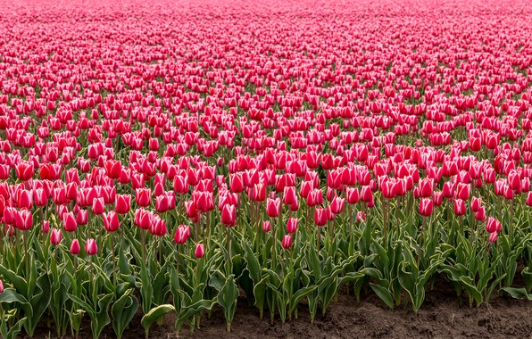 Picture field, flowers, spring, tulips, pink, buds, a lot, Holland, plantation, Tulip