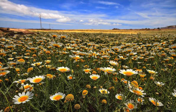 Picture field, the sky, chamomile