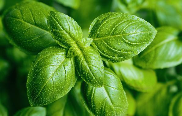 Picture green, plant, pesto
