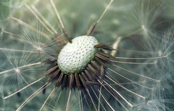 Picture flower, macro, dandelion