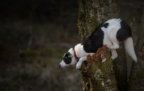 Picture pose, tree, dog, on the tree, the border collie