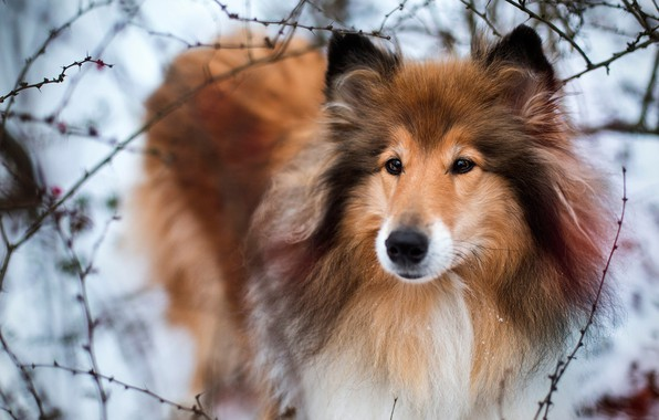 Picture winter, look, face, snow, branches, nature, background, portrait, dog, wool, hairy, fluffy, red, puppy, is, …