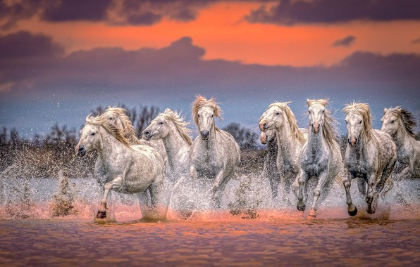 Picture water, sunset, squirt, horses, horse, the herd