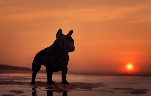 Picture sea, sunset, dog, silhouette, French bulldog