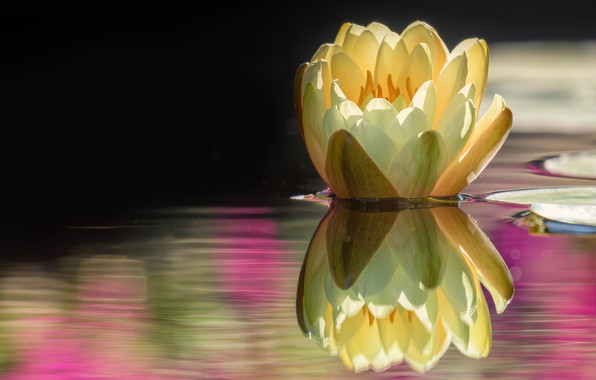 Picture flower, water, nature, lake, pond, reflection, Bud, Lily, pond, yellow, Nymphaeum, water Lily