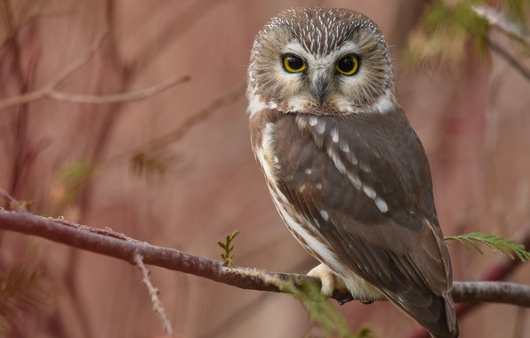Picture branches, owl, bird, blur, North American boreal owl
