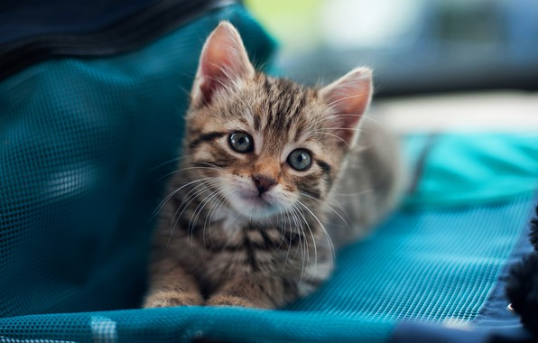Picture cat, cat, look, kitty, grey, small, muzzle, cute, fabric, lies, bag, kitty, striped, blue background