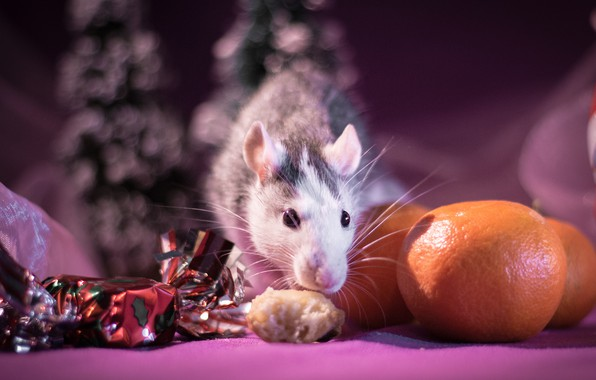 Picture look, light, background, pink, holiday, food, blur, mouse, mouse, muzzle, New year, animal, fruit, candy, …