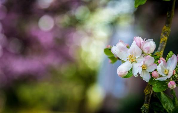 Picture flowers, branch, Spring, Apple, flowering, bokeh