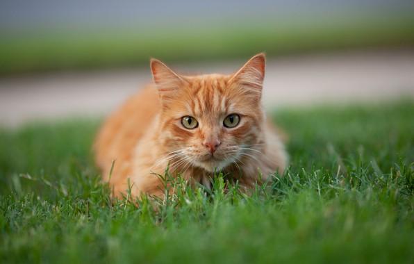 Picture cat, grass, cat, look, red, muzzle, cat