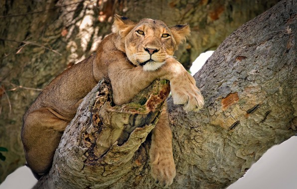 Picture look, pose, tree, model, lioness, wild cat, on the tree