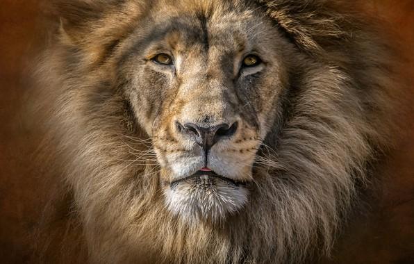 Picture portrait, predator, Leo, king, mane