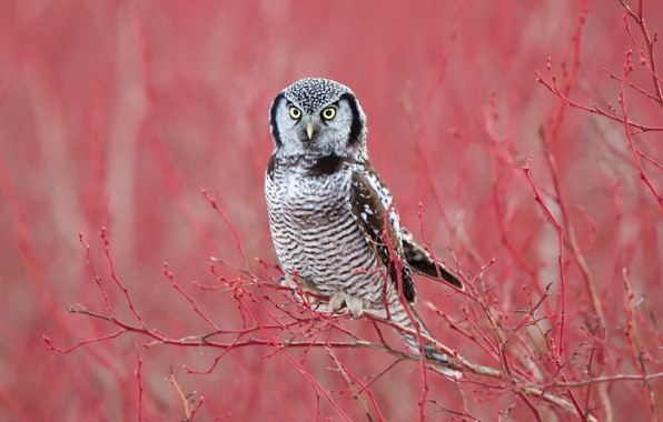 Picture branches, background, owl, bird, Hawk owl