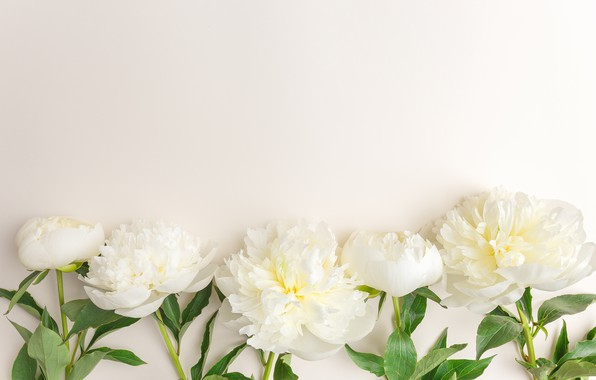 Picture flowers, white, white, flowers, beautiful, peonies, peonies