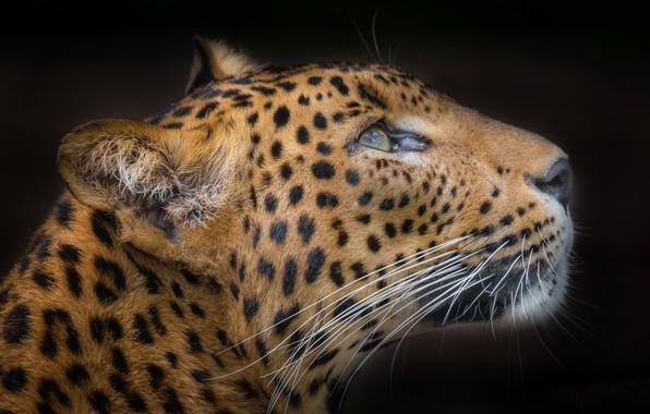 Picture background, beast, Puma