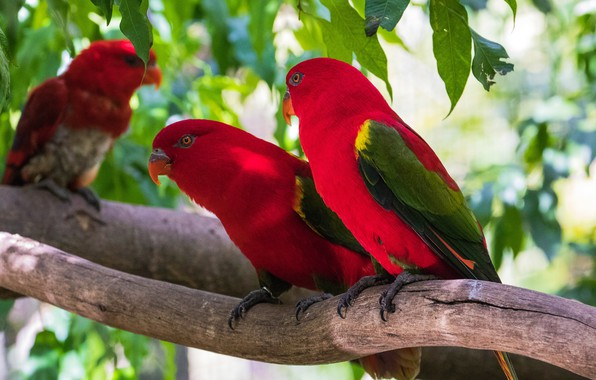 Picture leaves, birds, branches, tree, parrot, red, parrots, a couple, two, Lori, loricati, rainbow lorikeet