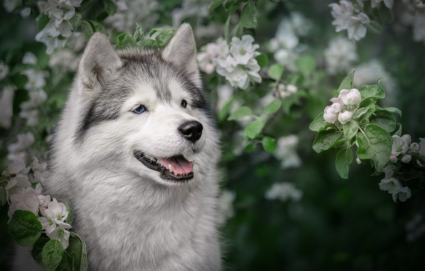 Picture face, branches, dog, spring, Apple, flowering, Husky, Svetlana Pisareva