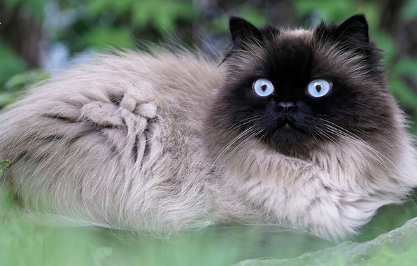 Picture cat, summer, grass, eyes, cat, nature, portrait, blue, muzzle, beauty, lies, eyes, fluffy, Siamese, color-point, …