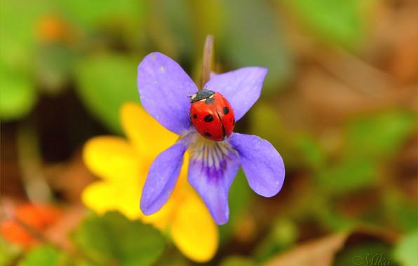 Picture Macro, Flower, Ladybug, Flower, Macro